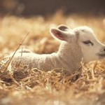 Bezmyślne stado czy świadoma owca?